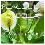 Peace Lilly Sybella MP3 cover